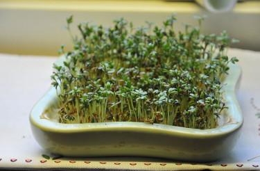 På bara några dagar har du färdig smörgåskrasse till din frukostsmörgås. Foto: Bernt Svensson