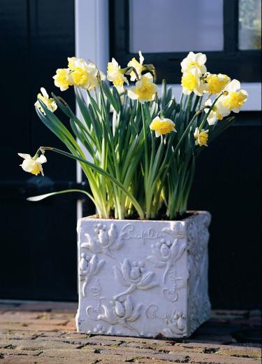 Pingstlilja, _Narcissus_, 'Ice Follies' i vacker kruka. Foto: Blomsterfrämjandet