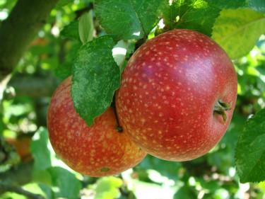 Gör en smart äppelplockare - läs bästa trädgårdstipset! Foto: Katarina  Kihlberg