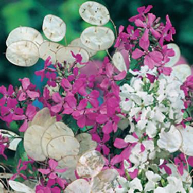 Judaspenningar, _Lunaria annua_, 'Purple and White Mixed'. Foto: Mr Fothergill's