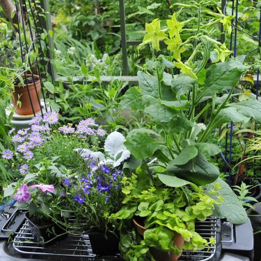 Krukodlade sommarblommor i väntan på plantering. Foto: Bernt Svensson
