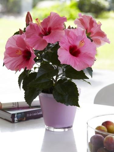 Hibiskus finns i massor av färger, här härligt piggt rosa! Foto: Floradania