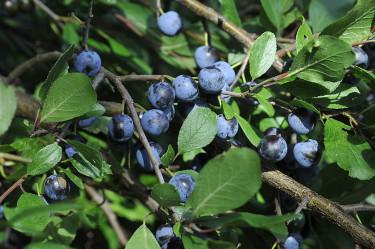 _Prunus spinosa_, slånbär.Foto: Bernt Svensson