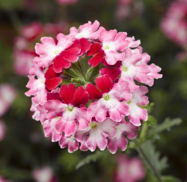 Verbena, _Glandularia Landai®_, Twister Red är färgstark och iögonfallande!  Foto: Blomsterfrämjandet/Syngenta