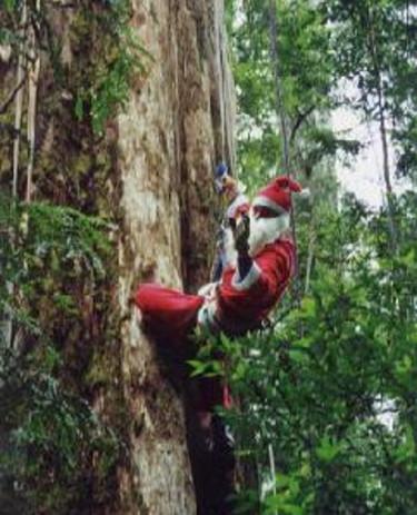Världens högsta julträd kläddes i Styx Valley, Tasmanien 1999, en 80 m hög _Eucalyptus regnans_. Detta var en protest mot omfattande avverkningar av gamla träd.