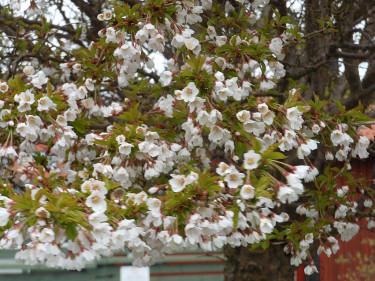 Prunus 'Kojou-no-mai'. Foto: Sylvia Svensson