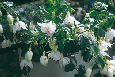Vit fuchsia i vit kruka. Foto: Blomsterfrämjandet/Syngenta.