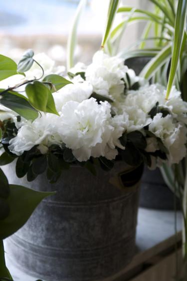 Fönsterazalea, _Rhododendron simsii_, Madame Troch. Foto: Blomsterfrämjandet