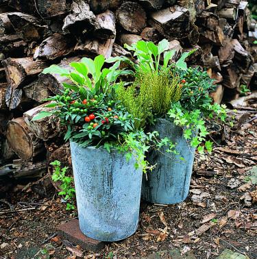 Hebe, _Hebe spp_, härligt samplanterad med andra inspirerande växter. Bild: Floradania