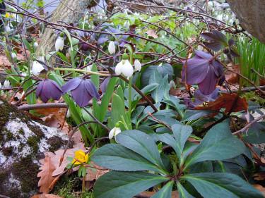 Galanthus elwesii med Helleborus orientalis Foto: Sylvia Svensson