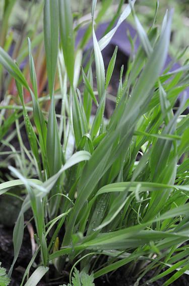 Kajplök på gång hos mig (Allium scorodoprasum) Foto: Bernt Svensson