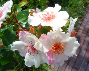 Rosen 'Sweet Pretty' har underbara blommor! Foto: Sylvia Svensson