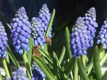 Pärlhyacinter med bin. Foto: Sylvia Svensson