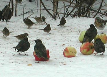Trastar i synnerhet gillar äpplen.Foto: Sylvia Svensson