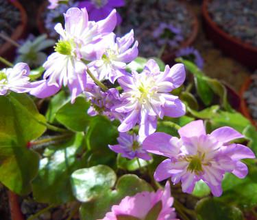 Dubbla japanska blåsippor, lila form. Foto: Sylvia Svensson