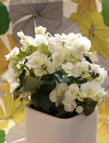 Begonia 'Clara Franje'. Foto: Blomsterfrämjandet.