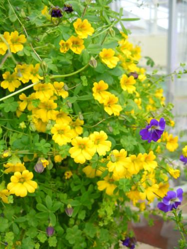 _T. brachyceras_ med några lila blommor av _T. azureum._ Foto: Sylvia Svensson