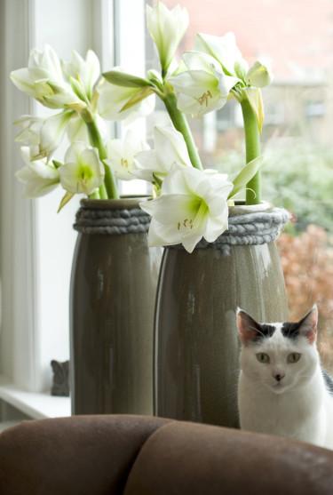 Vita amaryllis i fönsterFoto: Blomsterfrämjandet