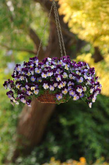 Pensé, _Viola x wittrockiana_, 'Cool Wave Violet wing'.  Foto: Blomsterfrämjandet/Hörnhems