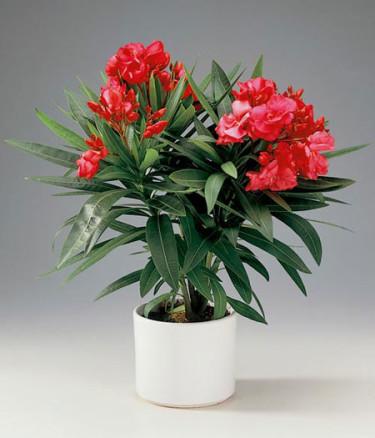 Röd oleander, _Nerium oleander_.