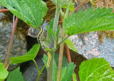 En äldre och en yngre nässelfjärilslarv. Foto: Sylvia Svensson