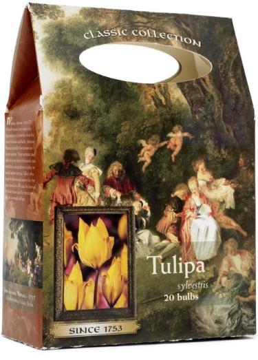 _Tulipa_.