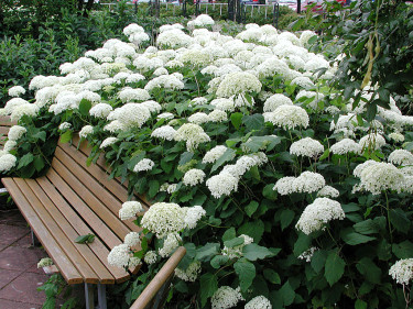 Hydrangea 'Annabella' växer så in i bänken i Botan Foto: Sylvia Svensson