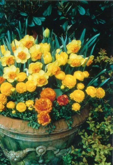 En solgul plantering i kruka med narcisser, gula tulpaner och ranunkler. Foto: IBC.
