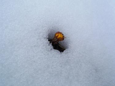 Naturen kan vara lika envis den. Tussilagon vill ha vår nu!  Foto: Carin Ahlstedt