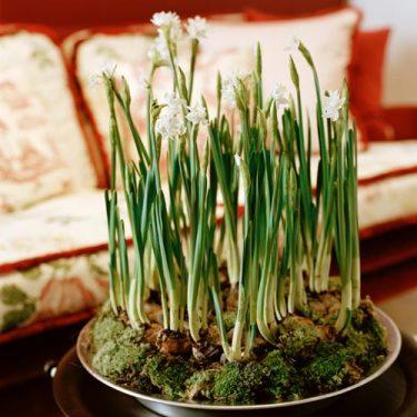 Tazett, _Narcissus papyraceus_.