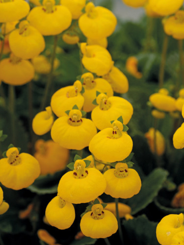 Toffelblomma, _Calceolaria_ 'Calynopsis' i gult är väldigt söt! Foto: Blomsterfrämjandet/Selecta