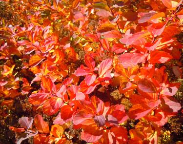 Björkspirea, _Spiraea betulifolia_, blir otroligt vacker på hösten. Foto: Sylvia Svensson