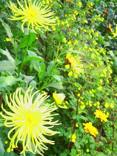 Ytterligare växt i samma grupp är inkakrage, _Tithonia rotundifolia_ 'Yellow Torch', på bilden nere till höger. Foto: Sylvia svensson