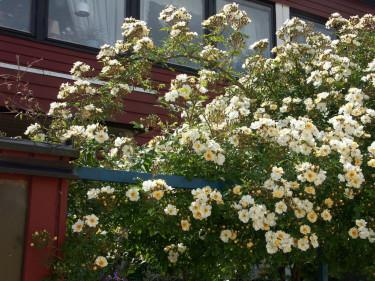 Klätterros, _Rosa helenae_ 'Hybrida'.Foto: Sylvia Svensson