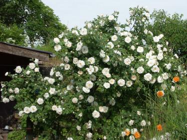 Jungfruros _Rosa alba_, 'Maxima', en ljuvlig buskros som blommar runt midsommartid.Foto: Sylvia Svensson