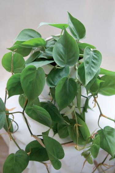 Klätterkalla, _Philodendron hederaceum_.