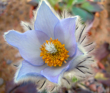 _Miyakea integrifolia_, en ljuvlig Pulsatilla-släkting.  Foto: Sylvia Svensson