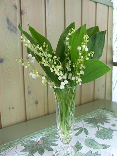 **Liljekonvaljer** brukar blomma lagom till Morsdag. Foto: Sylvia Svensson