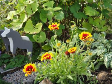 Kokardblomster, som är perenn, blommar fint i brunt, rött och gult.