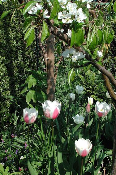 Tills det ser ut så här i trädgården, kan man försöka driva äppelkvistar i blom! Foto: Bernt Svensson