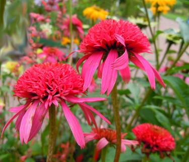 _Echinacea purpurea_ 'Pink Double Delight'. Foto: Sylvia Svensson