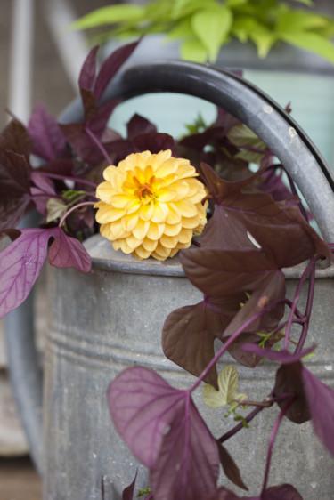 Dahlia och batat.  Foto: Blomsterfrämjandet/Anna Skoog