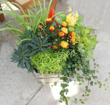 Solig kruka som innehåller en färgglad krysantemplanta, en plymört i gult och orange. En gulbladig alunrot, fetknopp och gräs ger variation. De mörkbladiga växterna är slideranka i framkanten och en mörkbladig mandeltörel till vänster. Foto: Sylvia Svensson