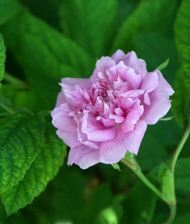 Rosa majalis 'Foecundissima' eller Tornedalsros