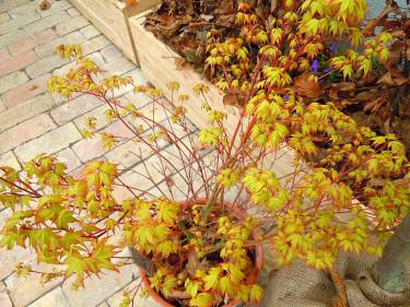_Acer palmatum_ 'Katsura'. Foto: Sylvia Svensson