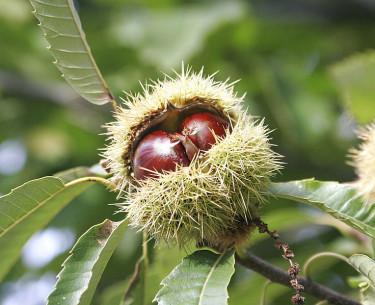 Äkta kastanj, nötter. Foto: Wikipedia