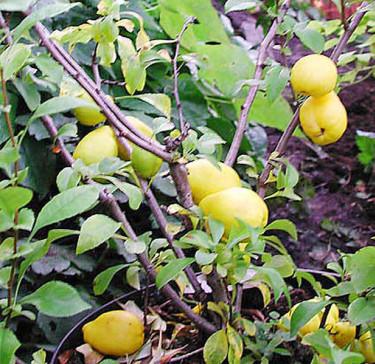 **Rosenkvittensort** med päronformade frukter. Foto: Sylvia Svensson