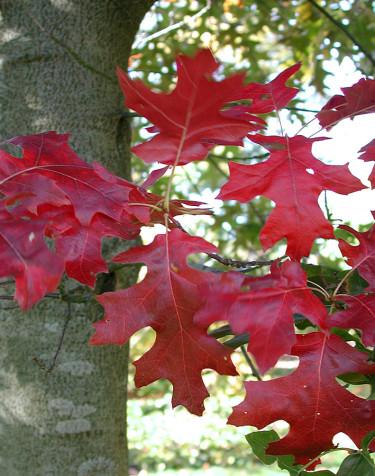 Scharlakansek, _Quercus coccinea_ 'Splendens' är mustigt färgstark. Foto: Sylvia Svensson