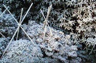 Stödpinnarna till vinterskyddet bör ordnas innan jorden fryser till Foto: Sylvia Svensson