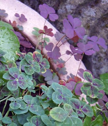 """_Trifolium repens_ 'Pentaphyllum' är en """"femklöver"""" med rödbruna fläckar på bladen. Den andra växten är ingen klöver utan rödbladig _Oxalis fontana_, klöveroxalis. Foto: Sylvia Svensson"""